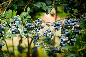 blueberry_physiology_image