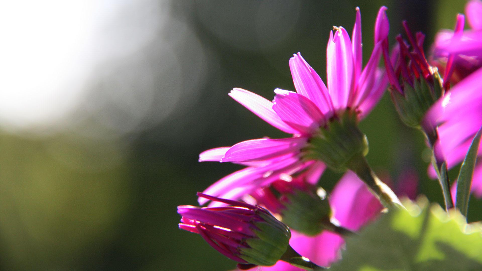 Purple daisies in the sun