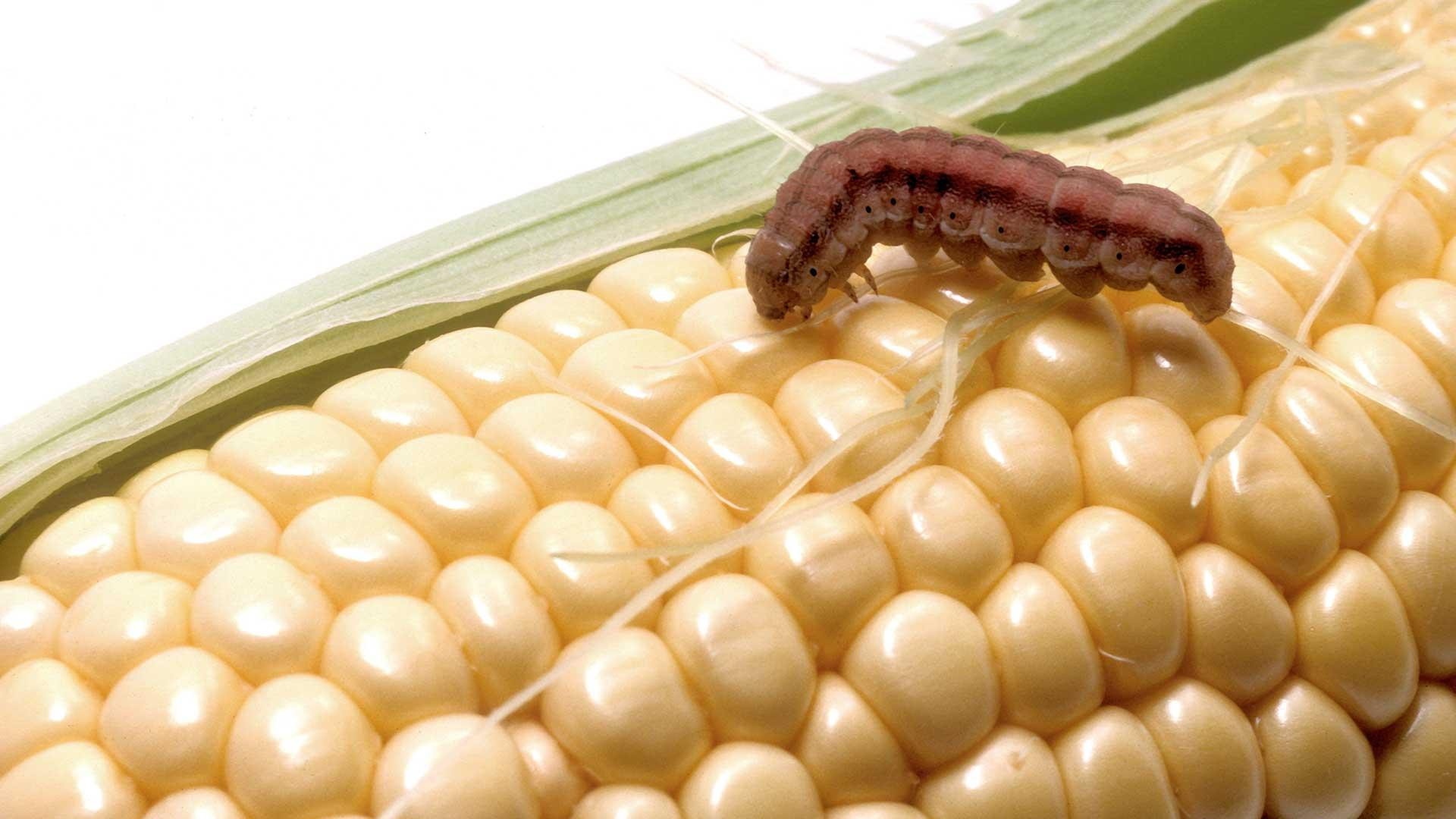 Corn earworm on ear of corn
