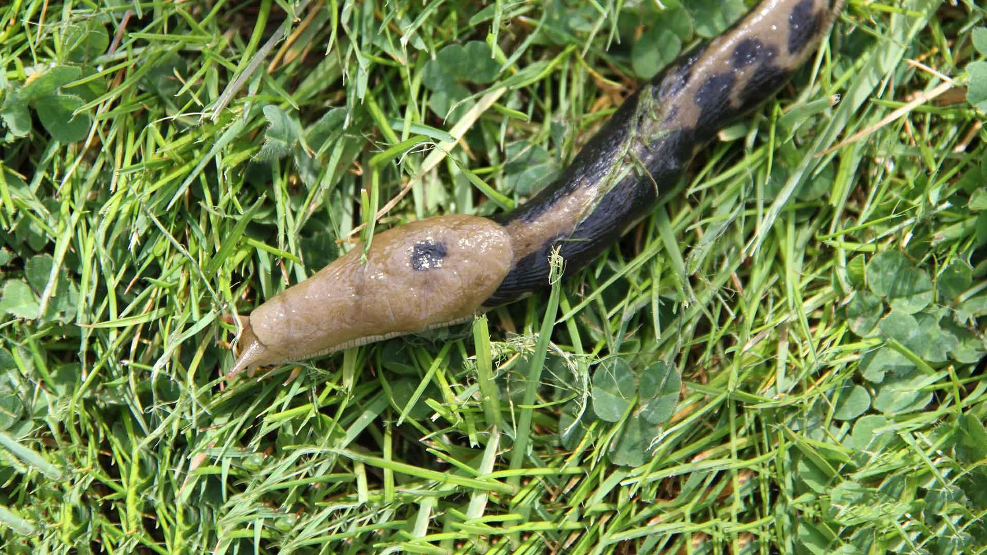 Close up of a slug in grass