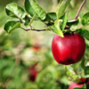bright red apple in orchard hard cider