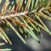 Diseased pine needles